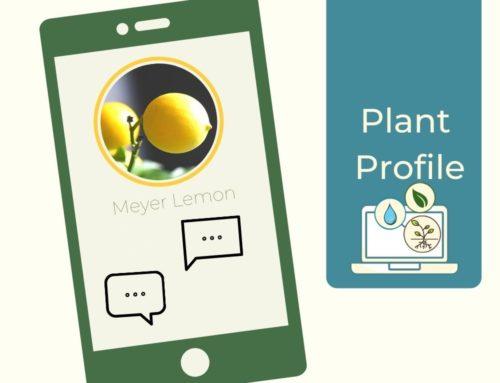 Plant Profile –  Meyer Lemon